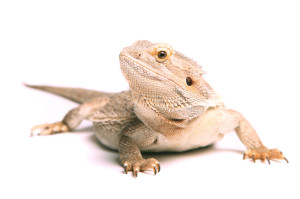 iStock_000024786625Small Bearded Dragon 2